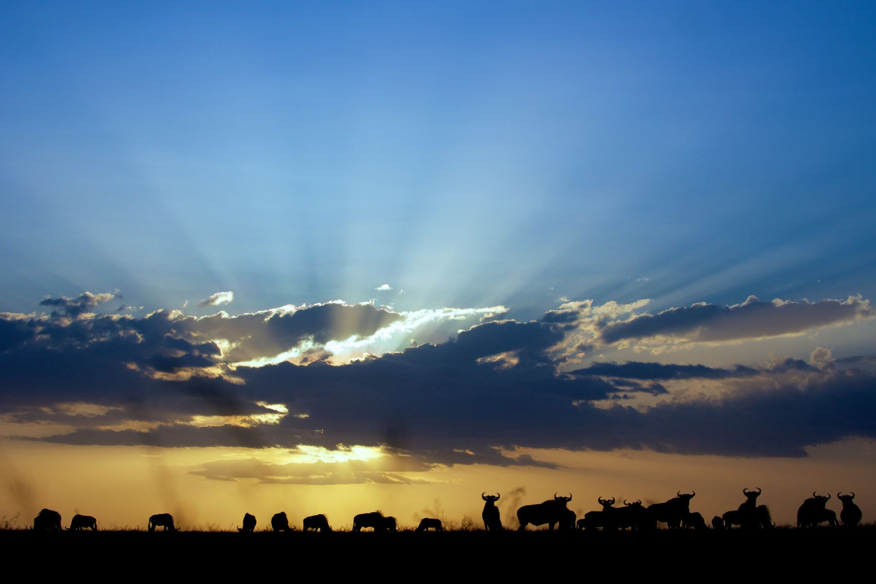 Sunset Wildebeest