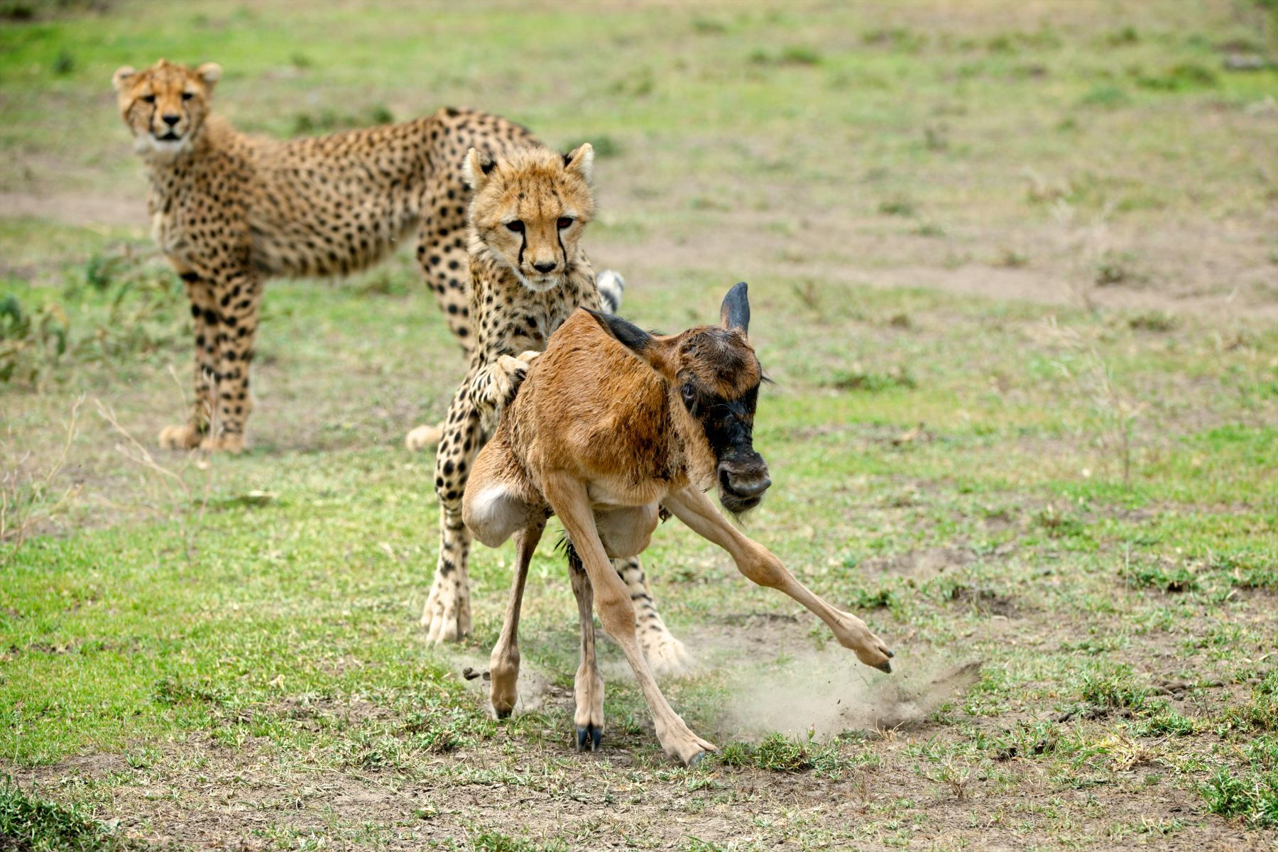 1cheetahhunt2raggett_123