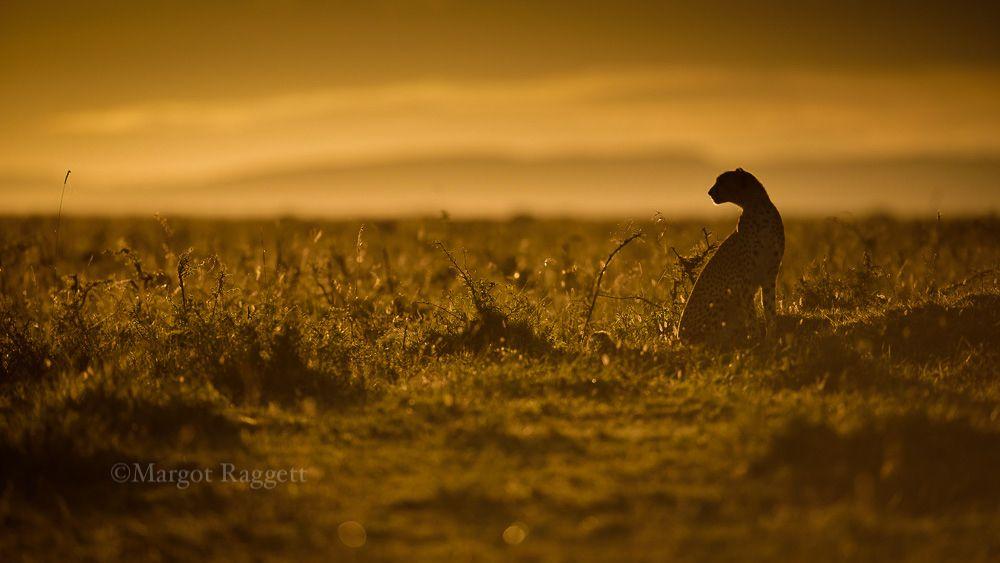Golden Cheetah at Dawn