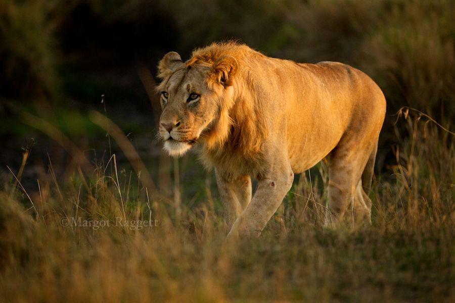 subadult-lion.jpg