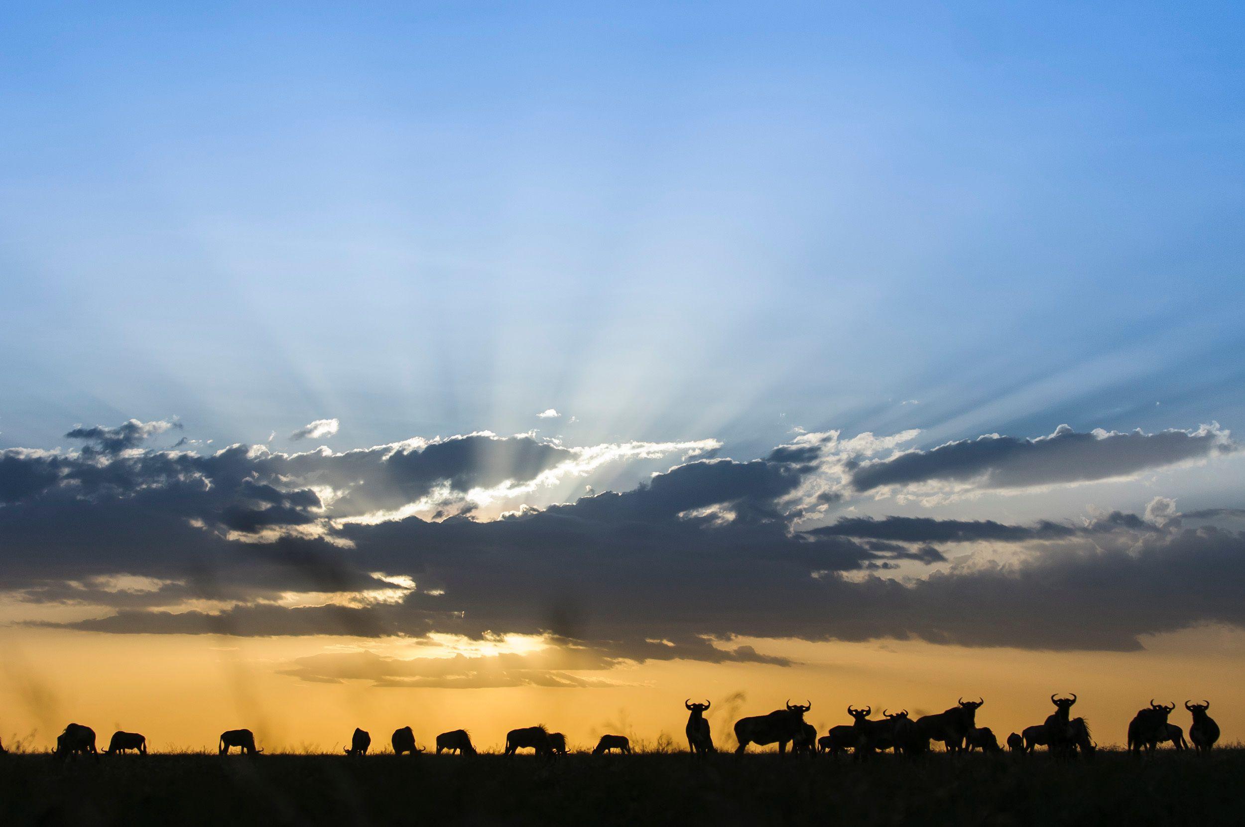 Wildebeest Sunset