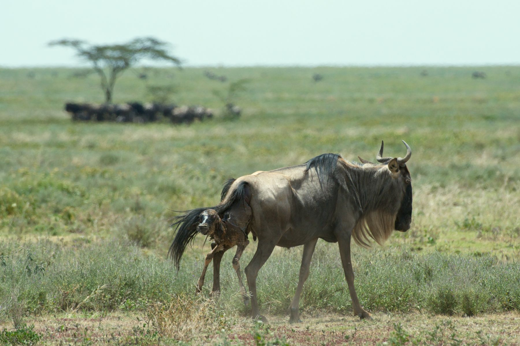 1wildebeestbirth_119