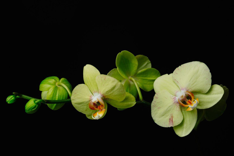 Phalaenopsis moth orchid flower