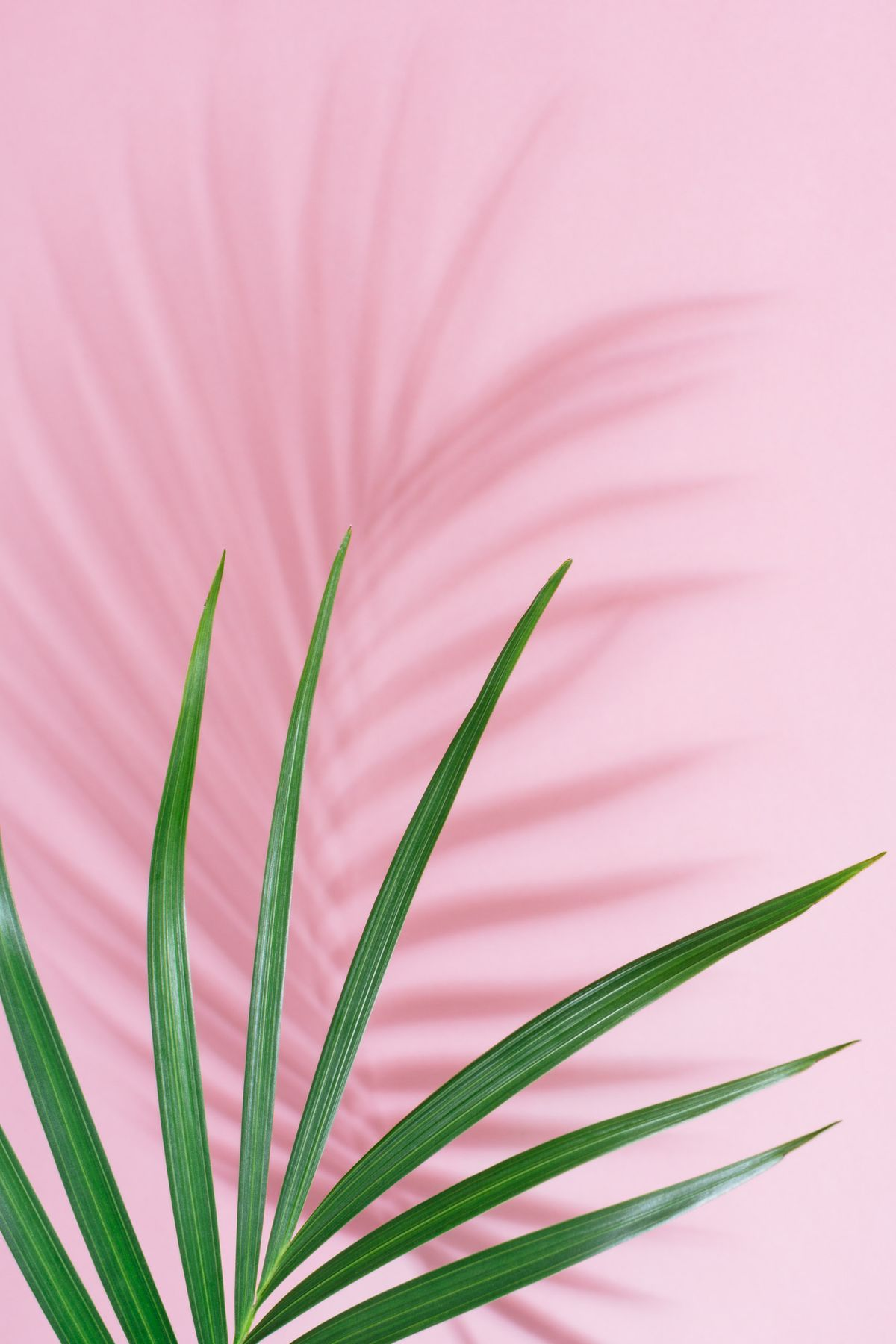 Palm frond  on pink background