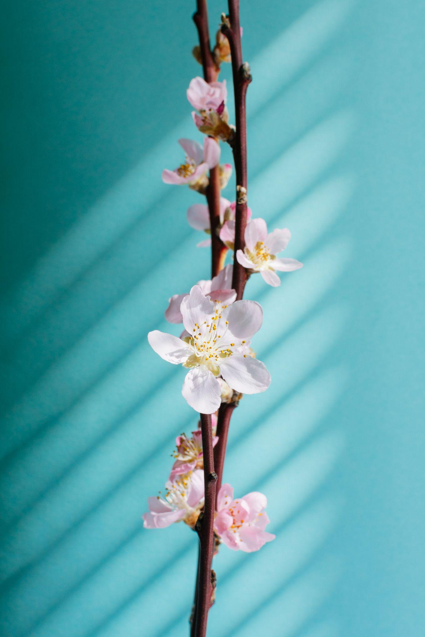 Peach flowering branch