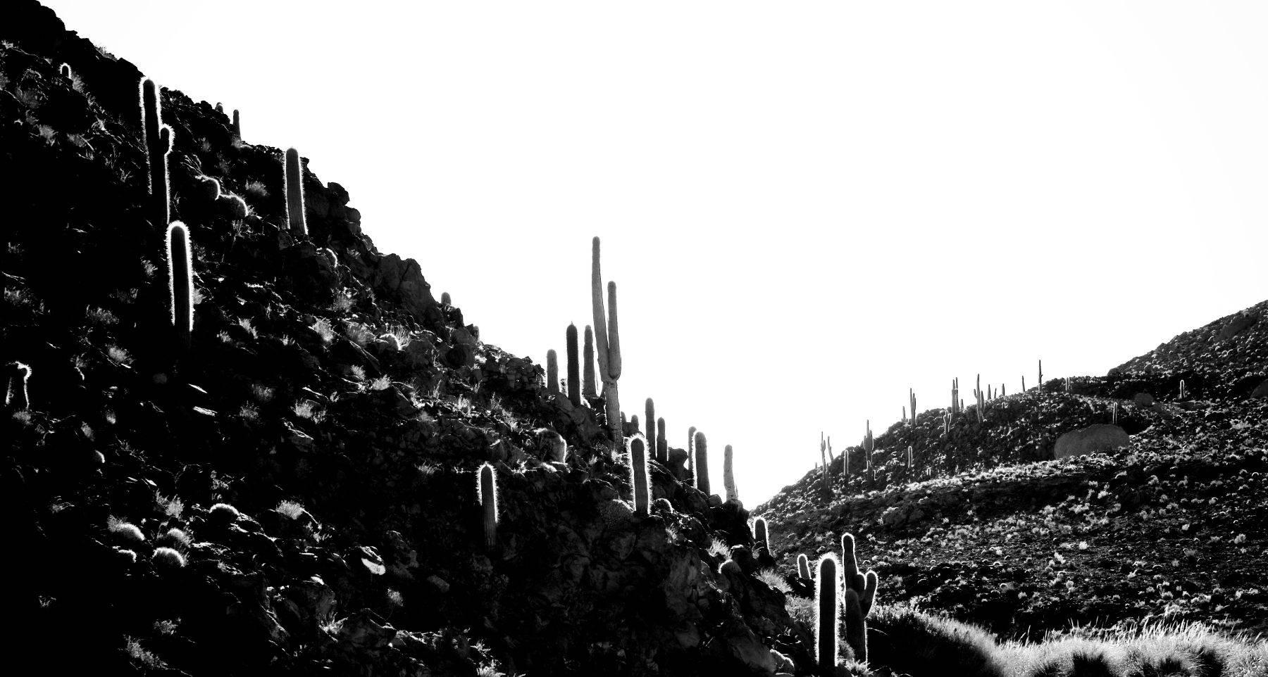 Cactus Forest Atacama Desert, Chile