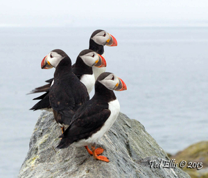 The Four Puffins