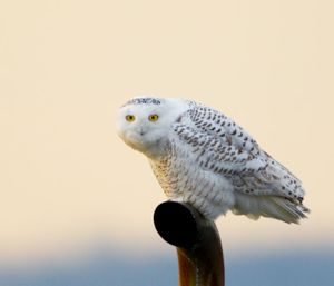 2014-02-01 Snowy PERCHED_20v2.jpg