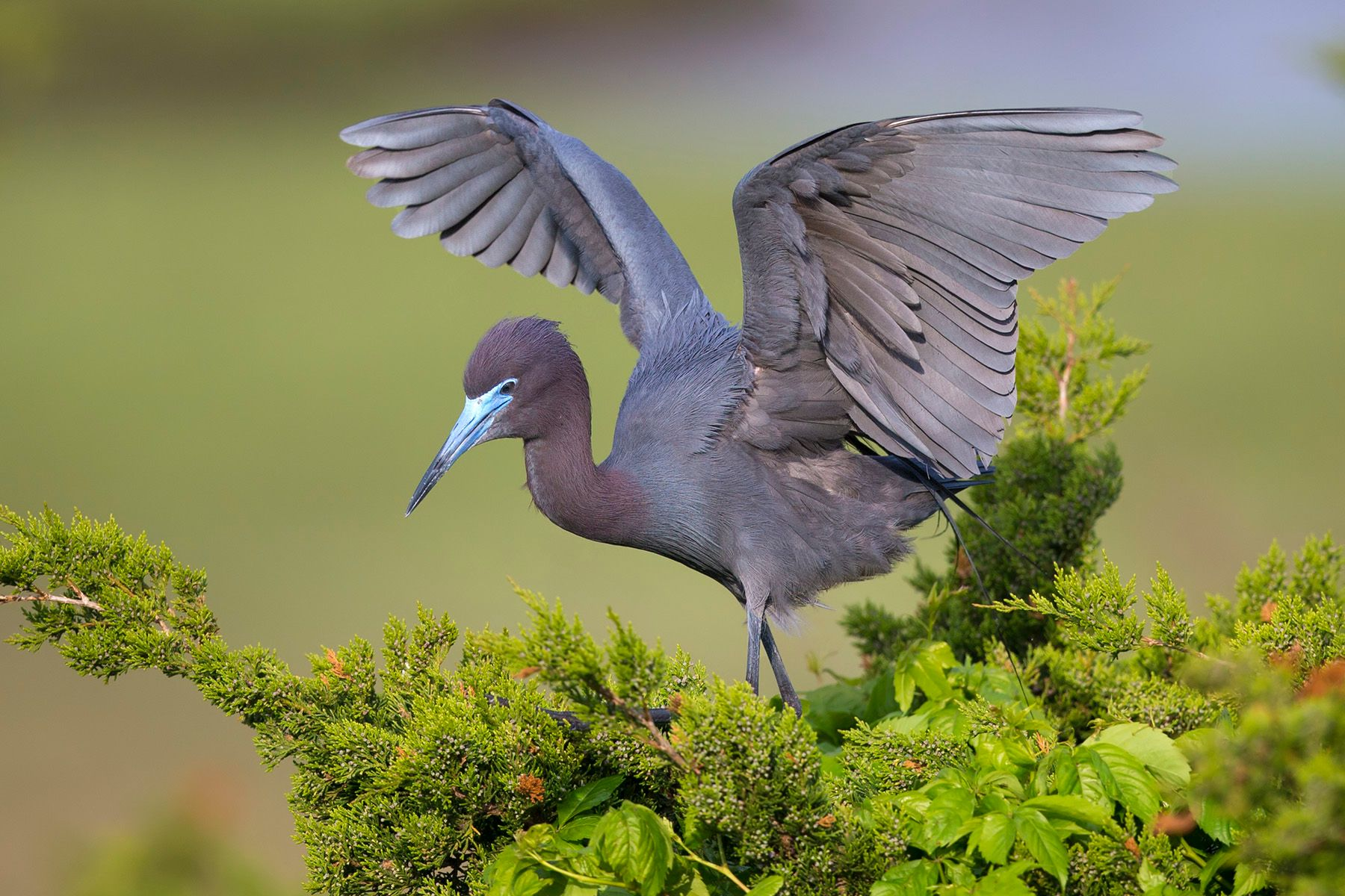 2019-05-11 Little Blue Heron_13v2.jpg