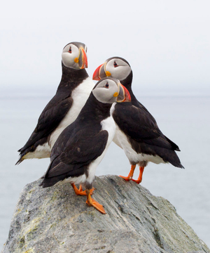 The Three Puffins