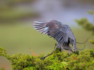 2019-05-11 Little Blue Heron_9V2.jpg