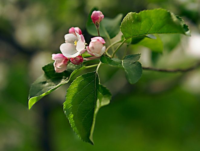 Apple Blossoms 2