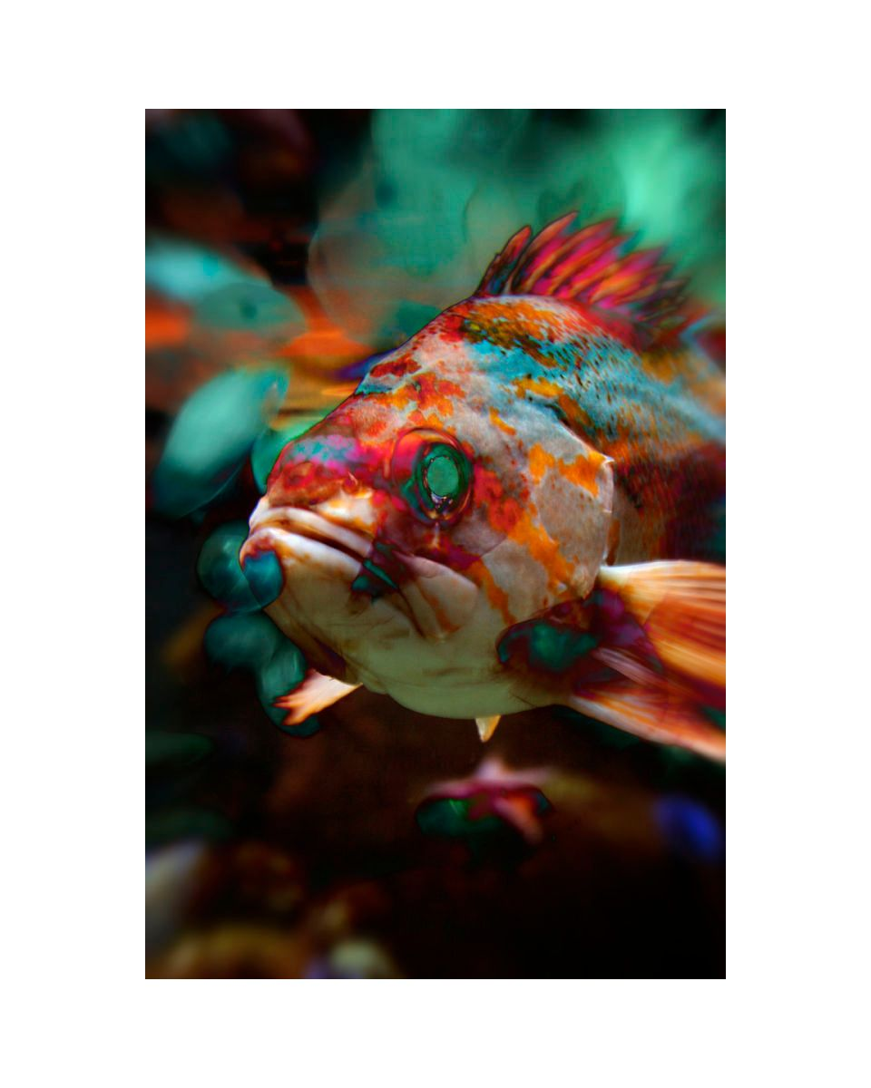 1multi_color_fish_16x20_color