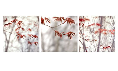 Japanese Red Maples