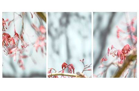 Red Maple Buds.
