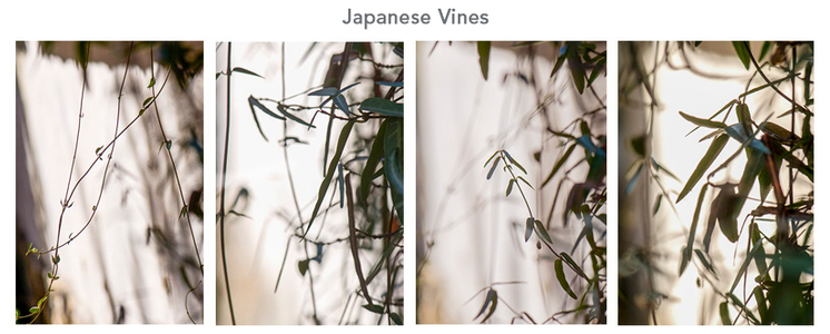 japanese vines