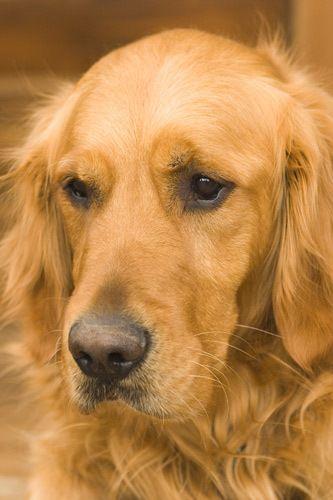 1pet_dog_golden_1.jpg