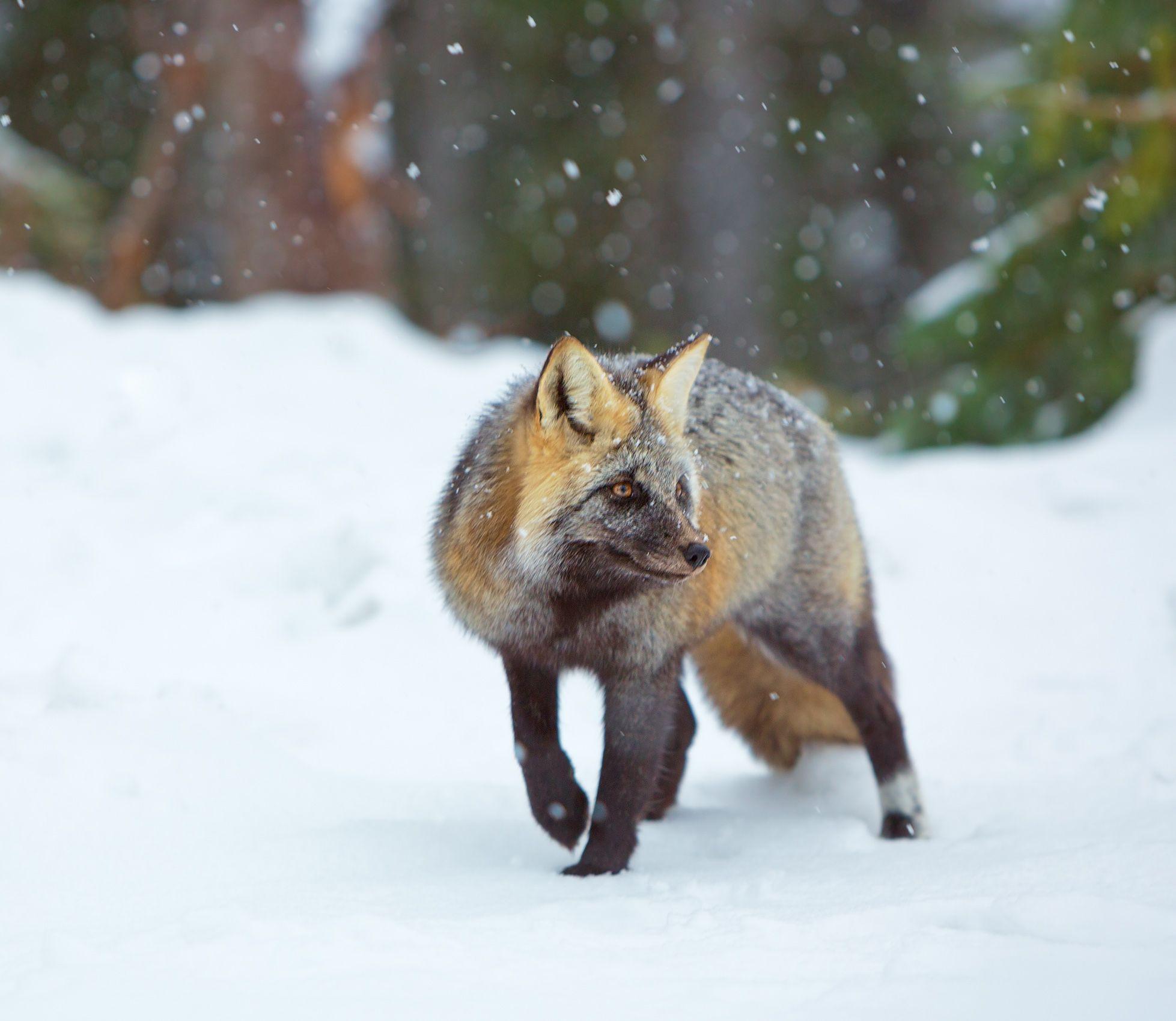 Opportunist, Cascade Red Fox