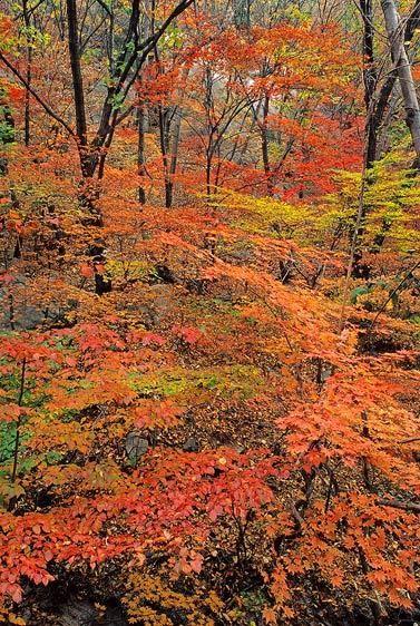 Autumn Maple Forest, Bukhansan National Park