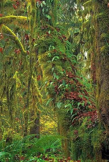 Symbiosis, Quinault Rainforest in Autumn