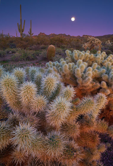 Moonlight Cholla