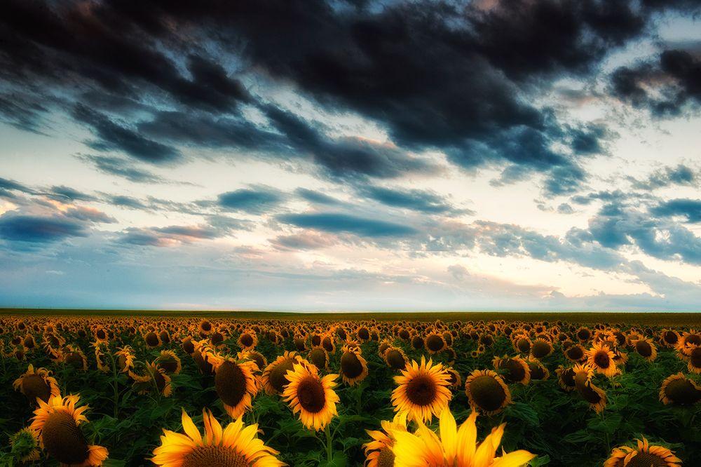 sunflower_horz.jpg