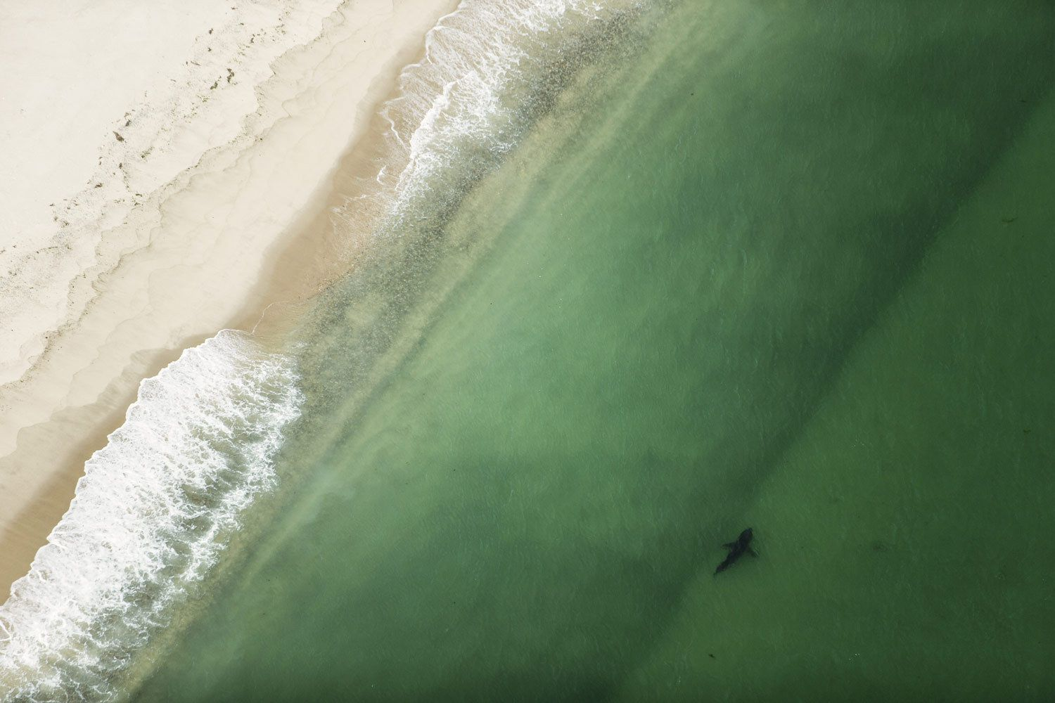 1great_white_shark_swimming_close_beach_aerial.jpg