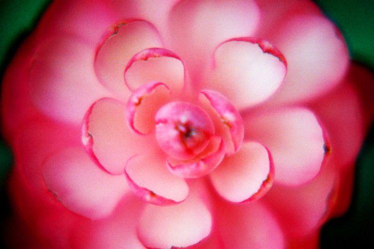 'Maui Bloom'
