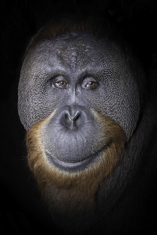 USA_IN_Indianapolis_Orangutan_Basan_6607.jpg