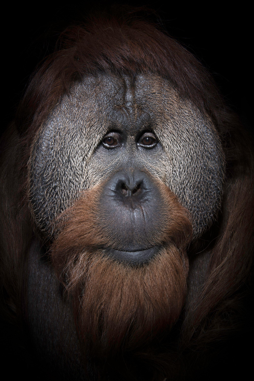 USA_IN_Indianapolis_Orangutan_ Azy_5790.jpg