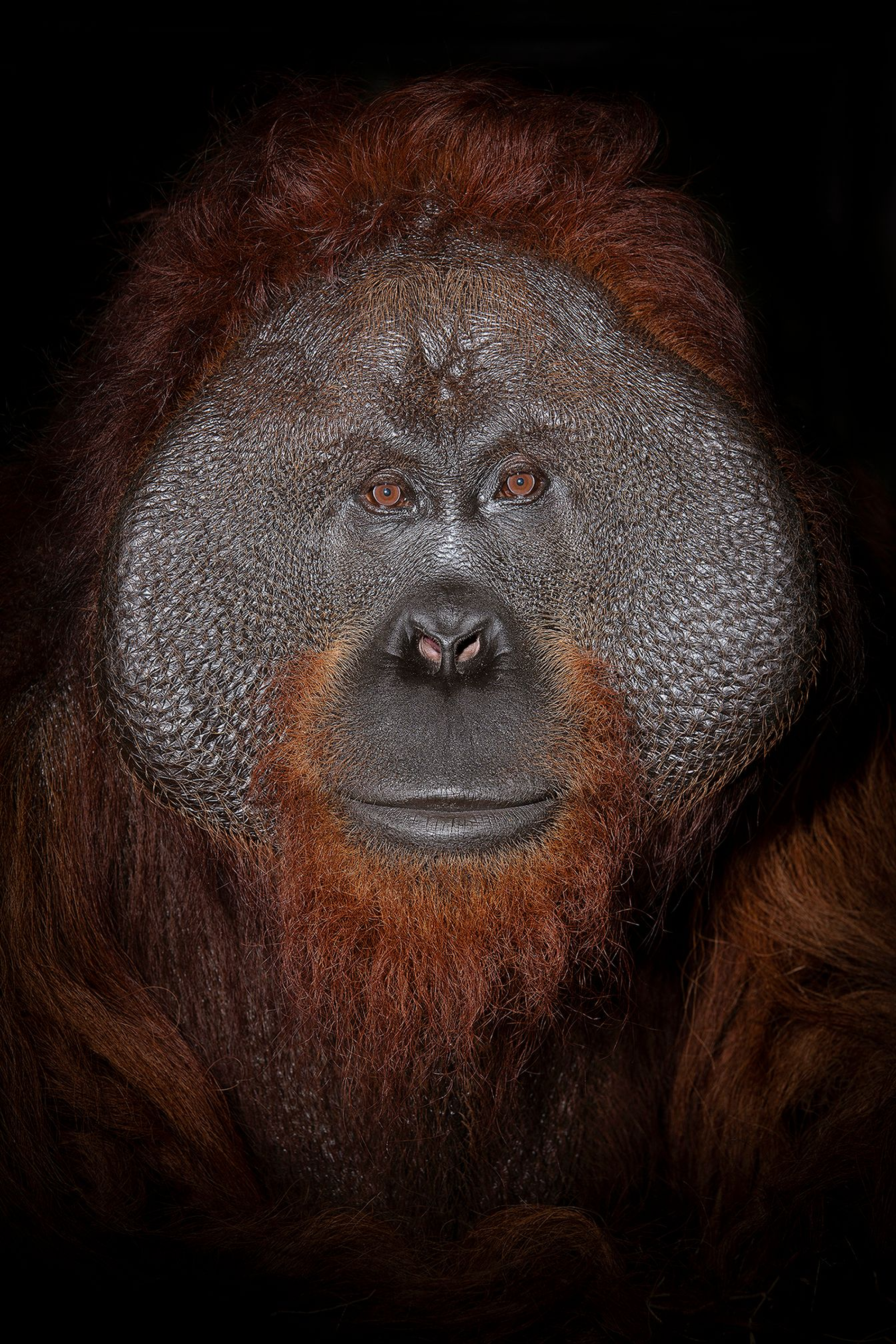 orang_05_USA_FL_Center_for_Great_Apes_Harry_6437.jpg