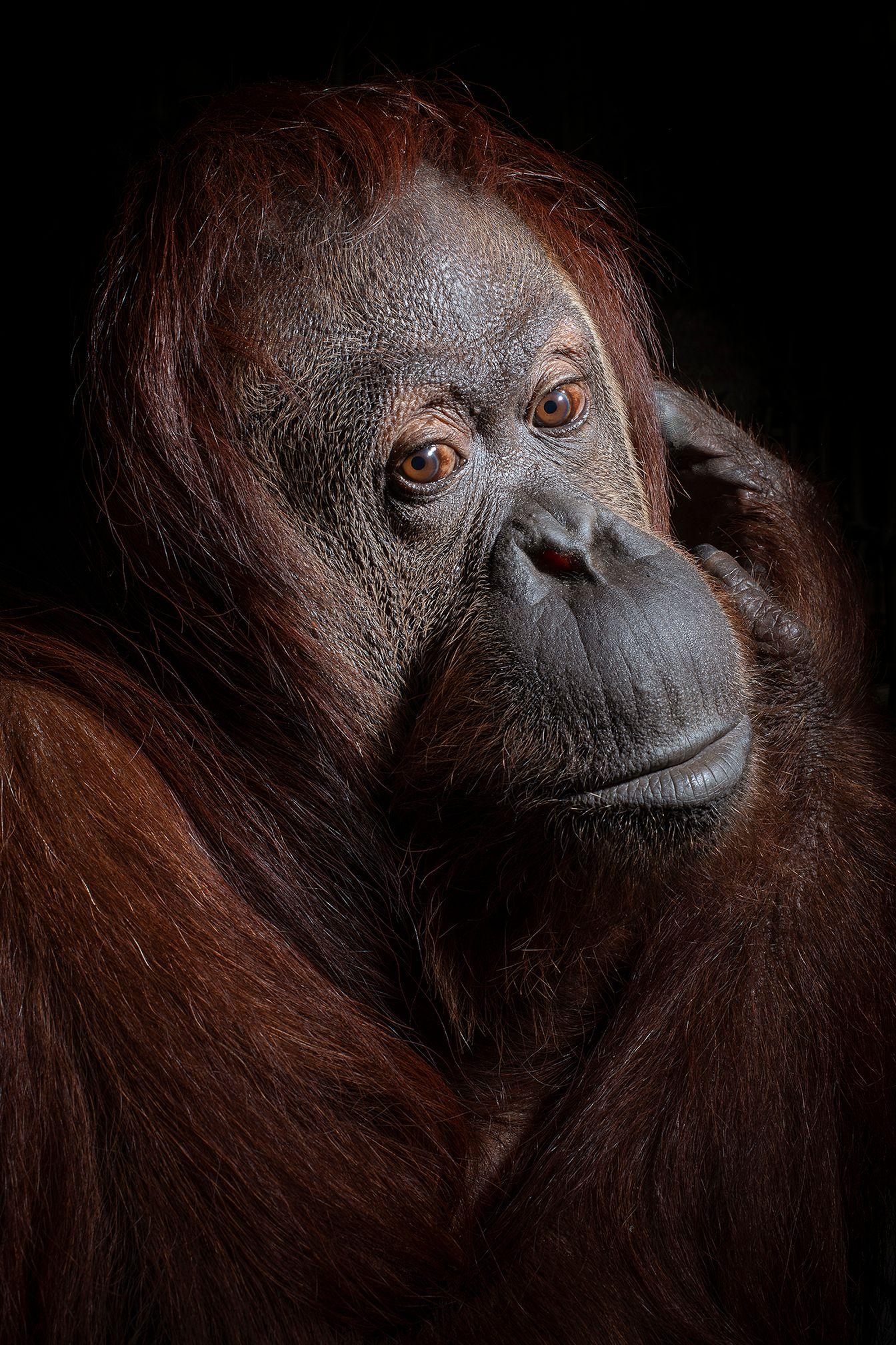 06_USA_FL_Center_for_Great_Apes_Sandra_6339.jpg