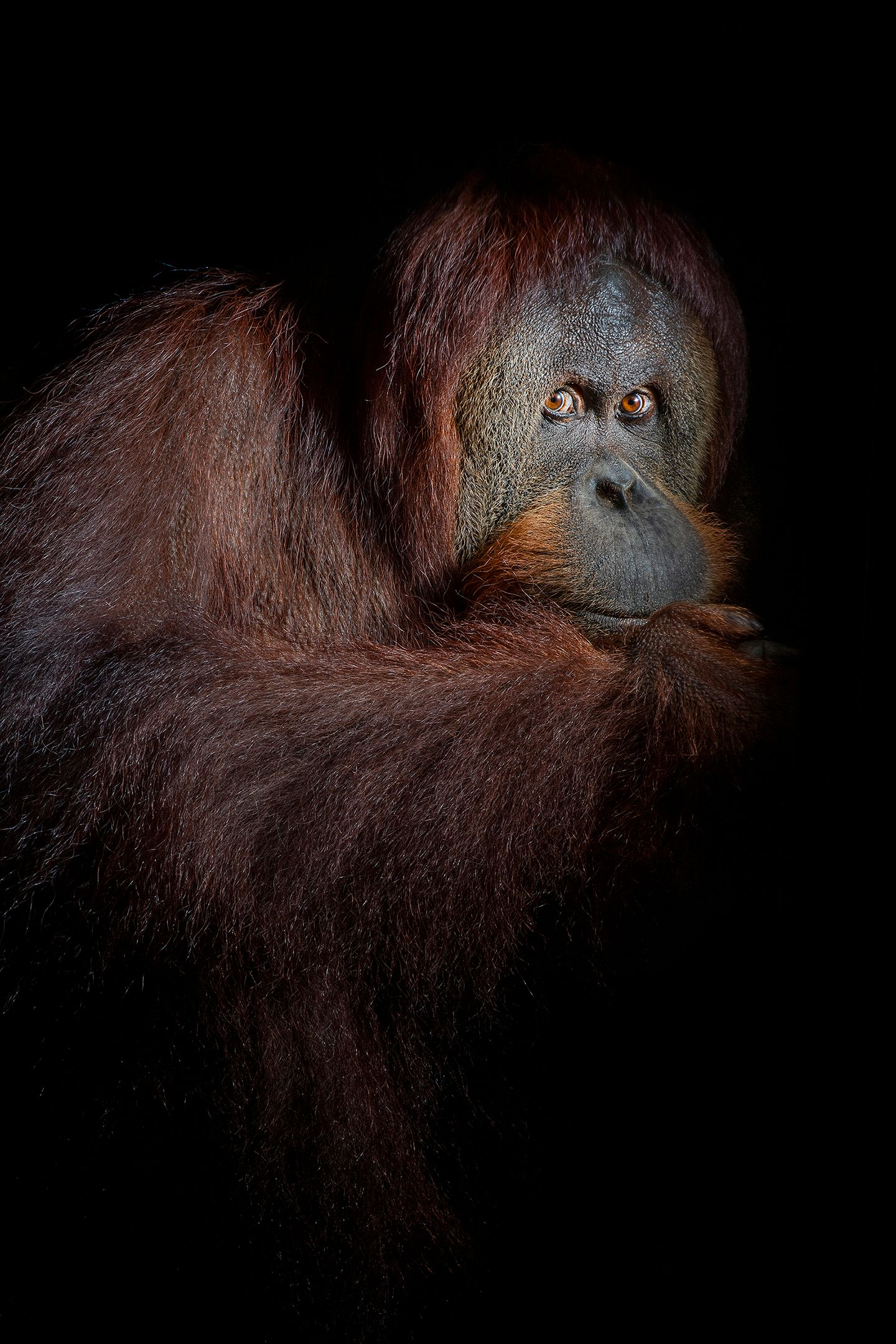 orang_03_USA_FL_Center_for_Great_Apes_Kiki_6394.jpg