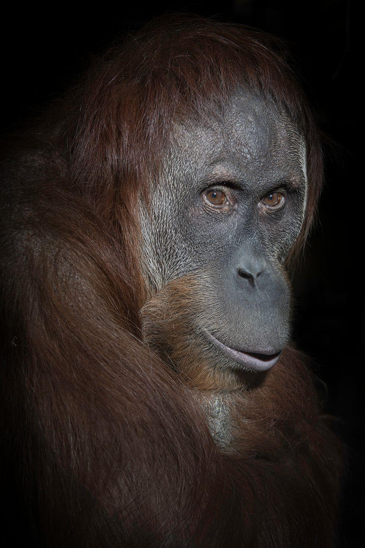 USA_IN_Indianapolis_Orangutan_Sirih_6446.jpg