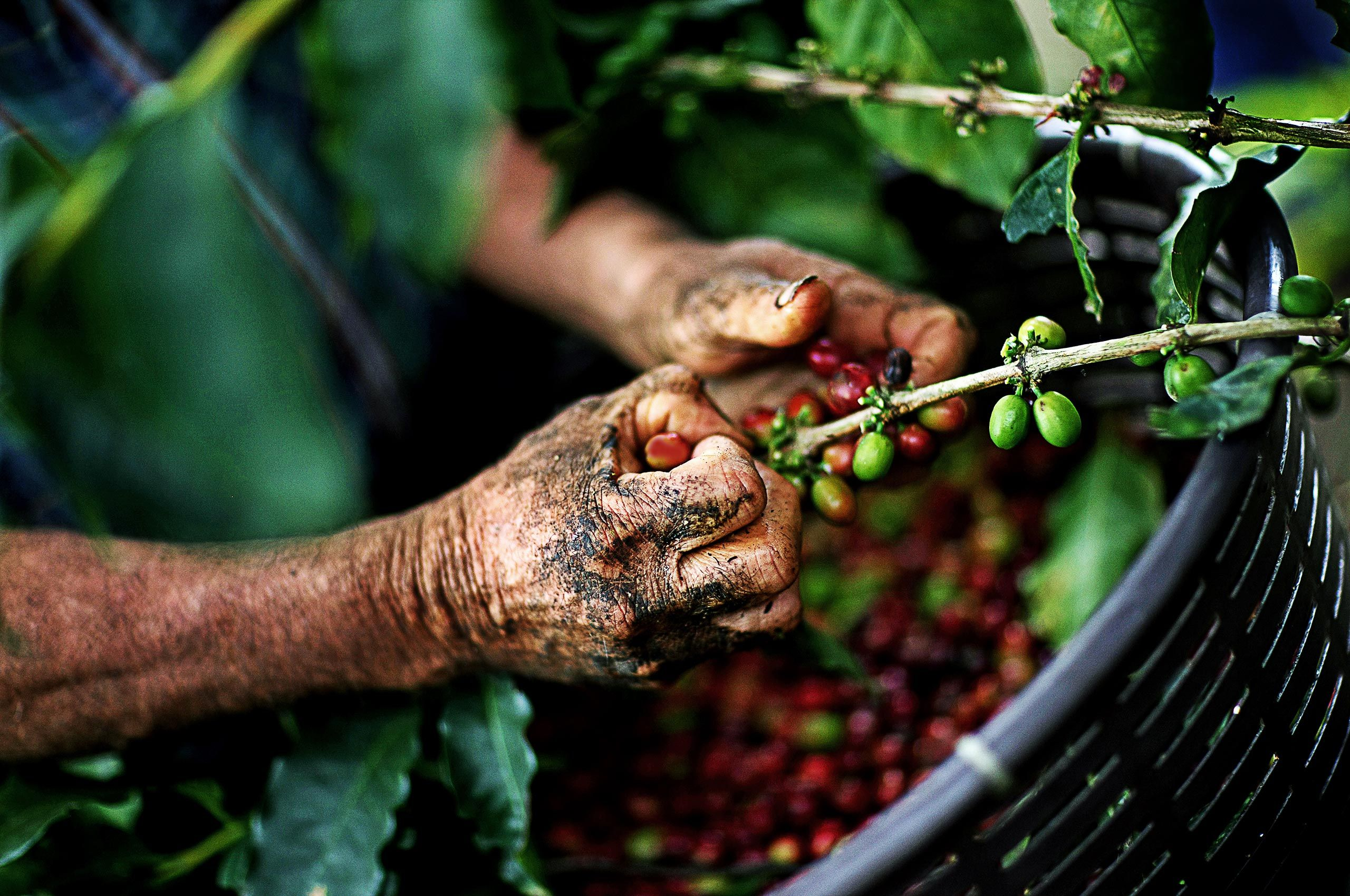 Costa_Rica_Coffee_Picker.jpg