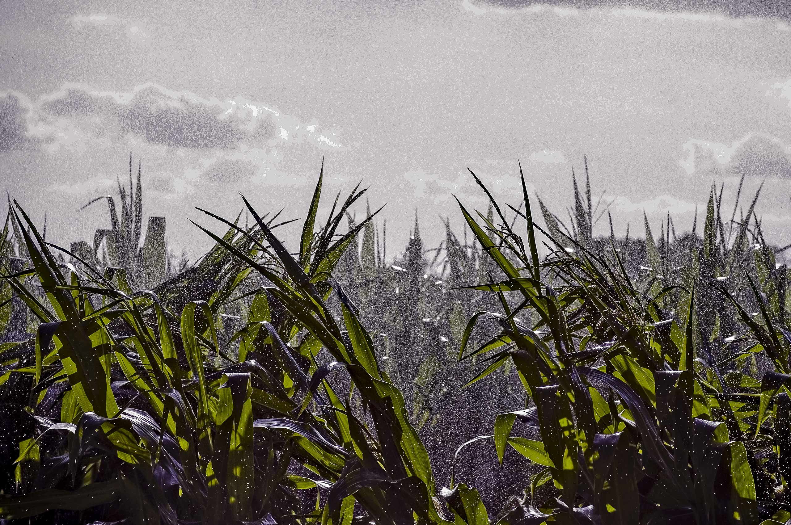 Corn_fields_water_spray_environment.jpg