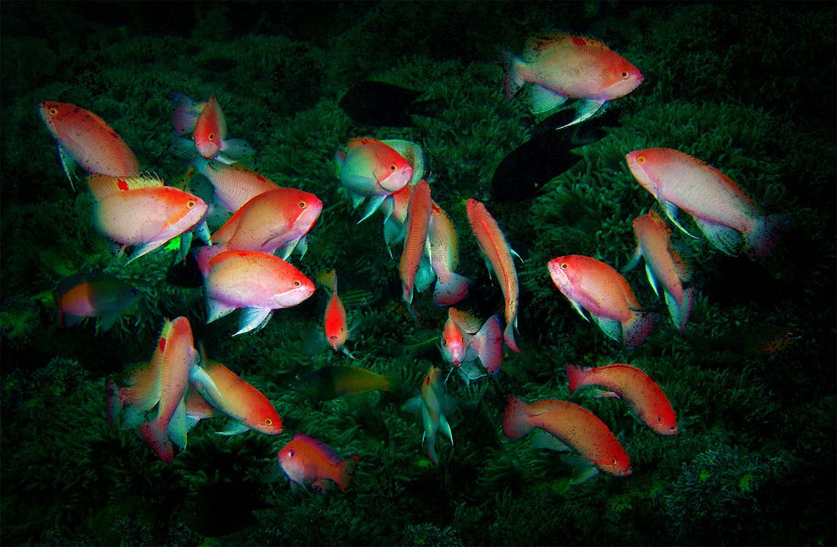 Dancing Anthias