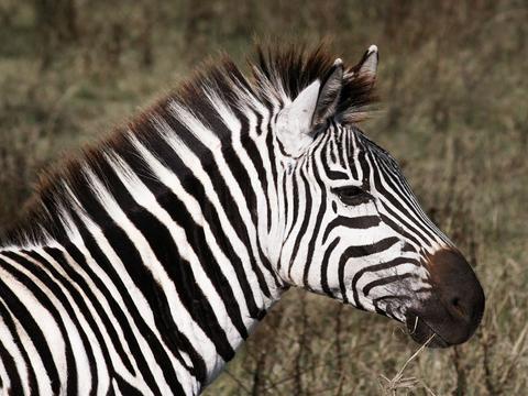 Zebra- Africa.jpg