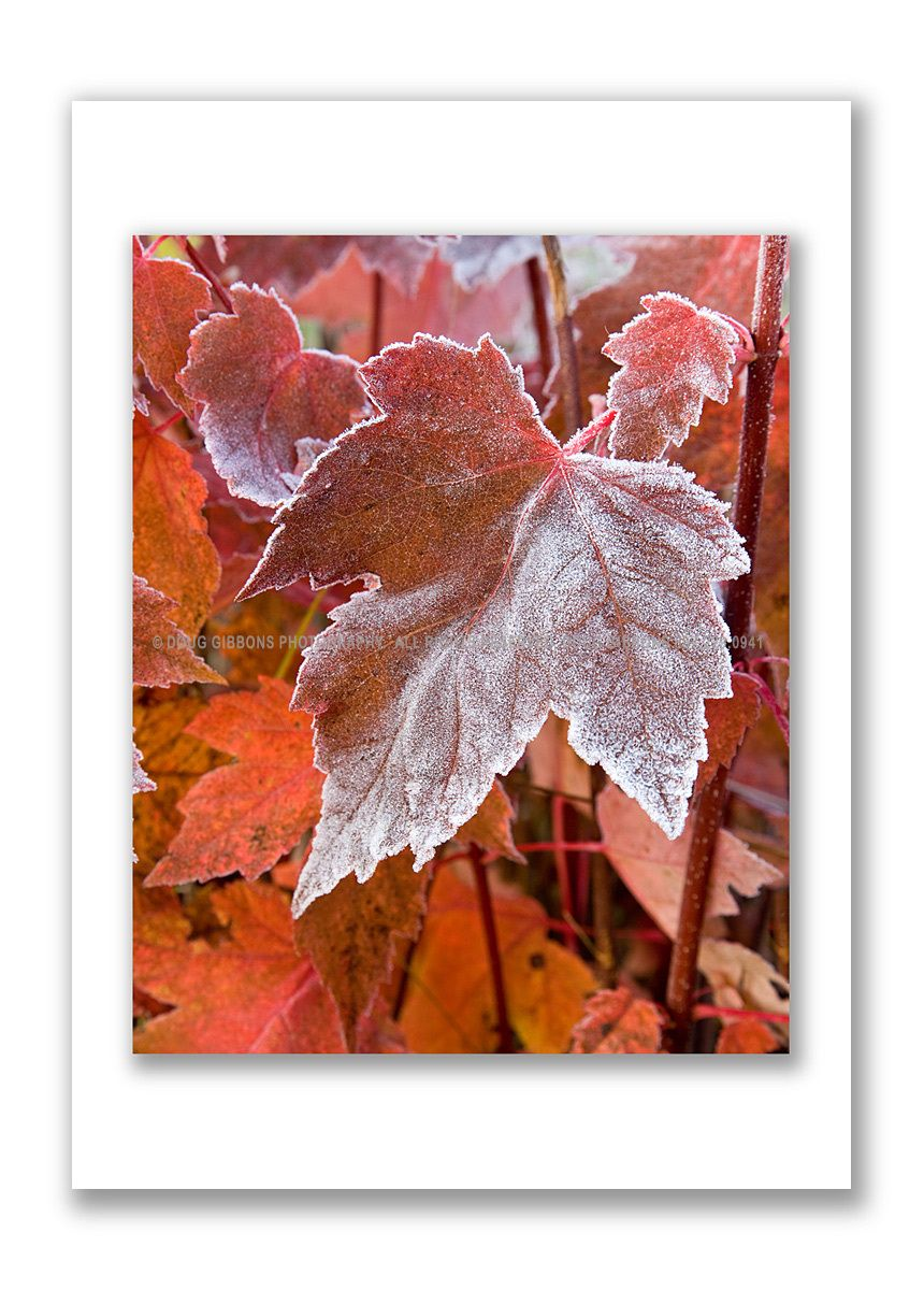 Maple frost