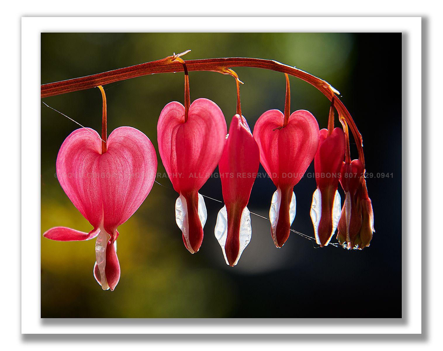 Hearts II