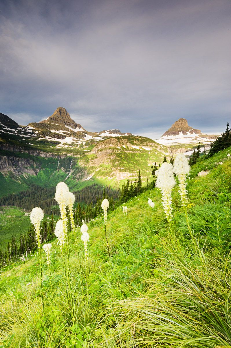 Bear Grass below Mount Reynolds and Mount Clements on the Going-to-the-Sun Road