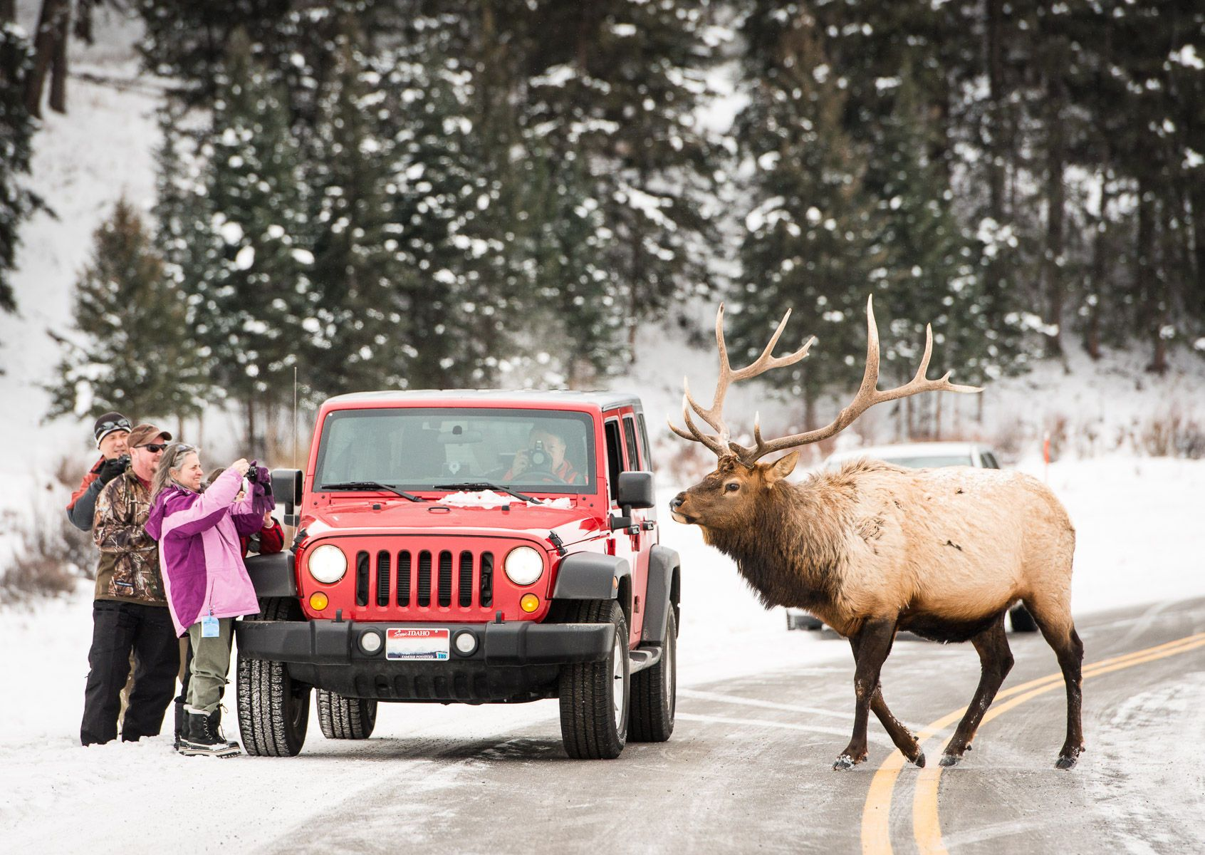Bull Elk (Cervus canadensis) Approaches Tourists