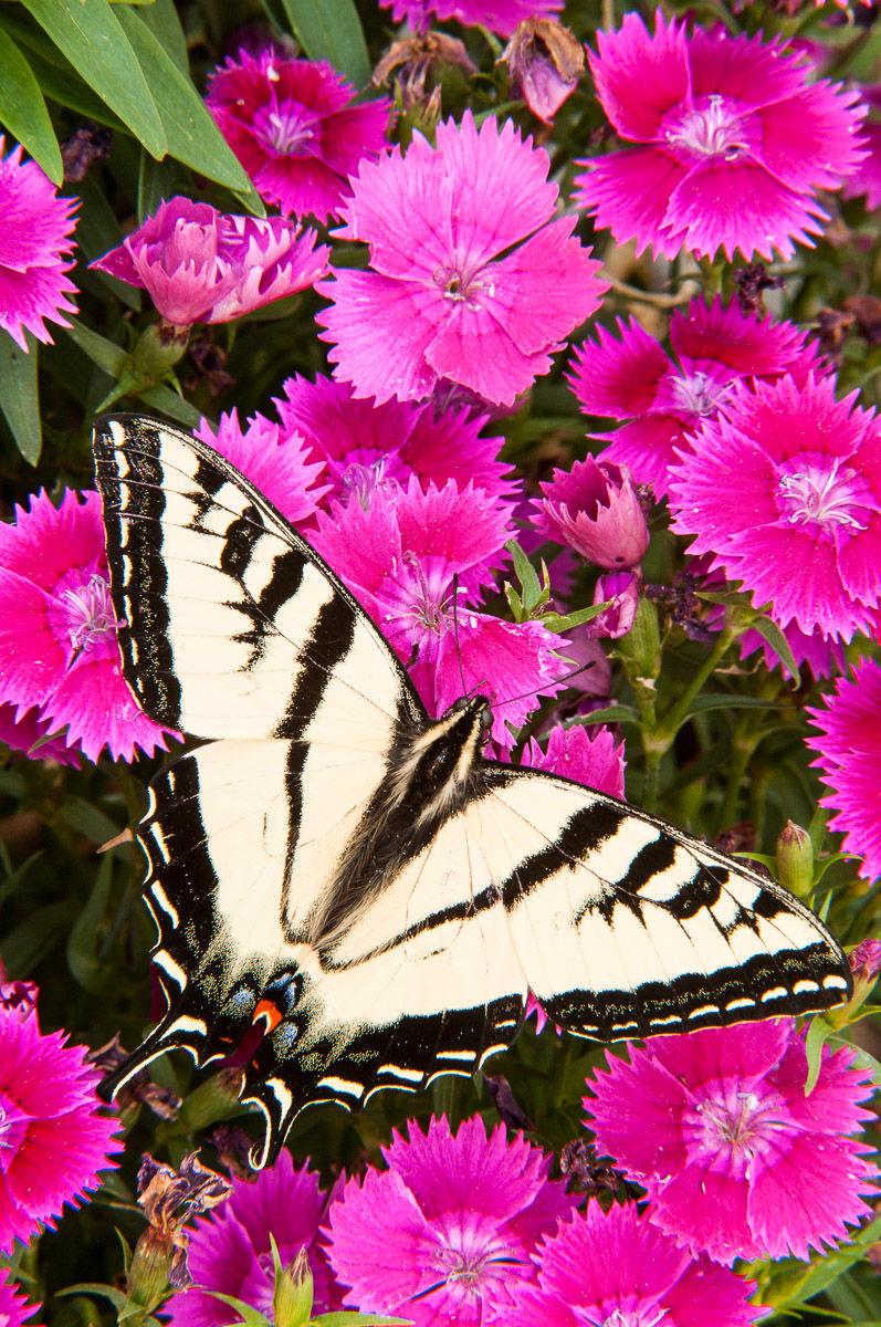 1western_tiger_swallowtail_30.jpg