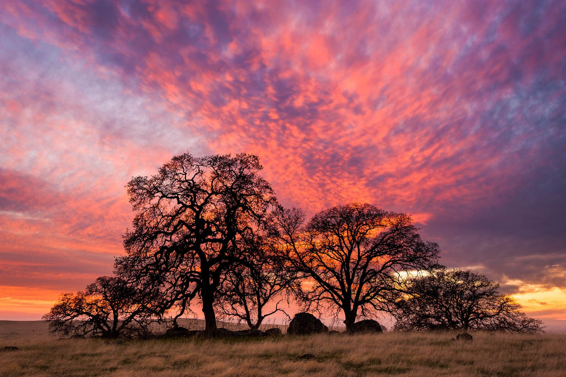 Valley Oak Sunset