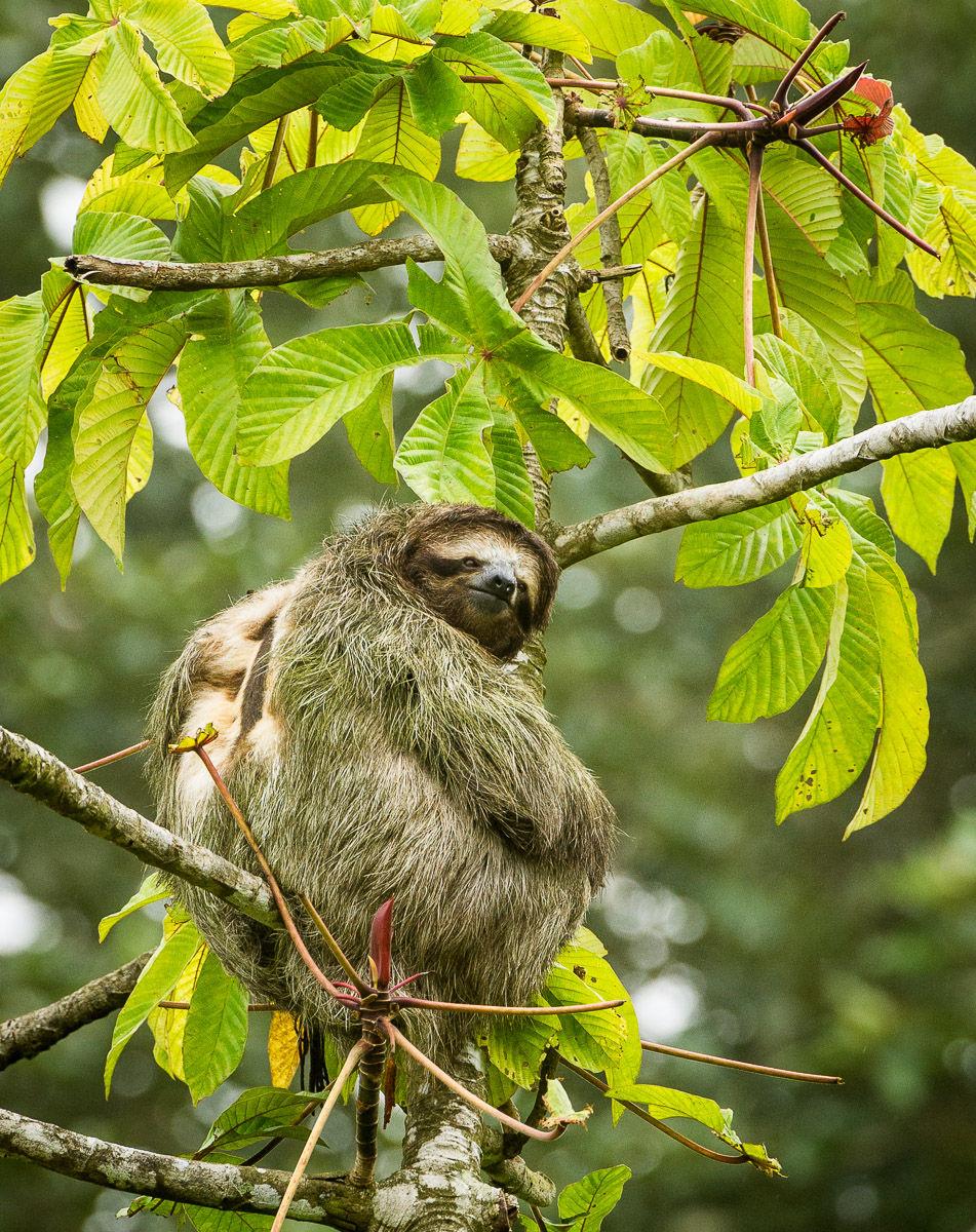 Brown-throated sloth (Bradypus variegatus), three-toed sloth
