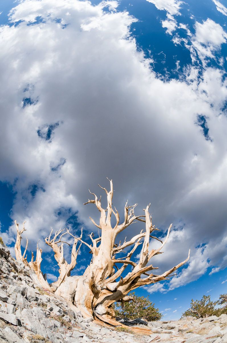 Ancient Bristlecone Pine and Clouds