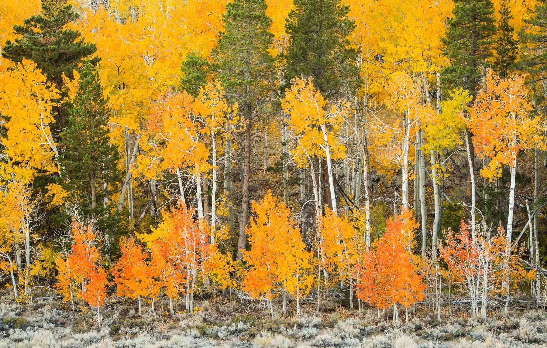 Fall Aspen in the Eastern Sierra, California