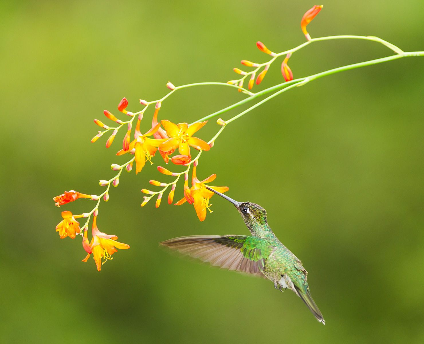 Green-crowned Brilliant humming bird (Heliodoxa jacula)