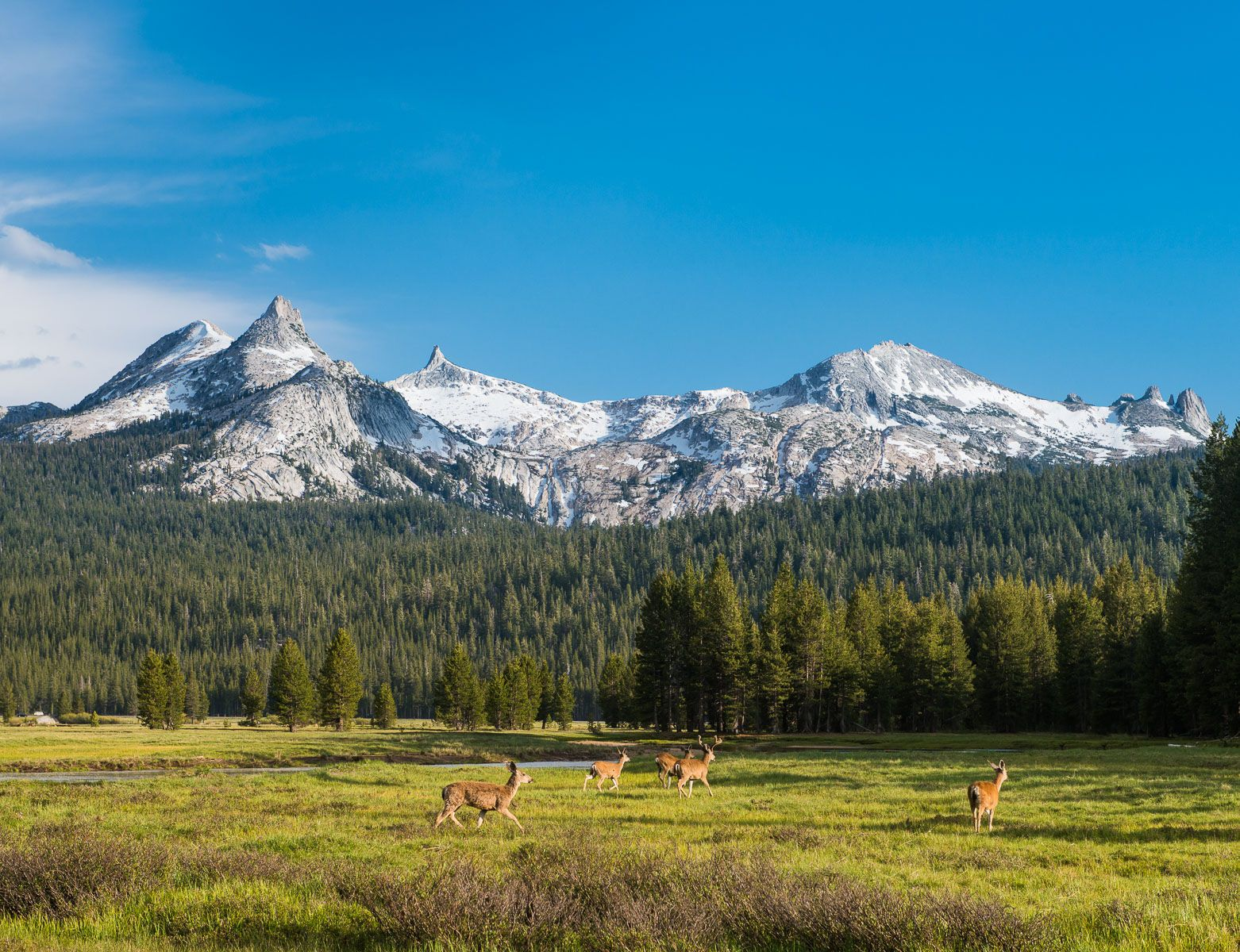 Deer Running through Tuolomne Meandows with Cathederal Range in the Background