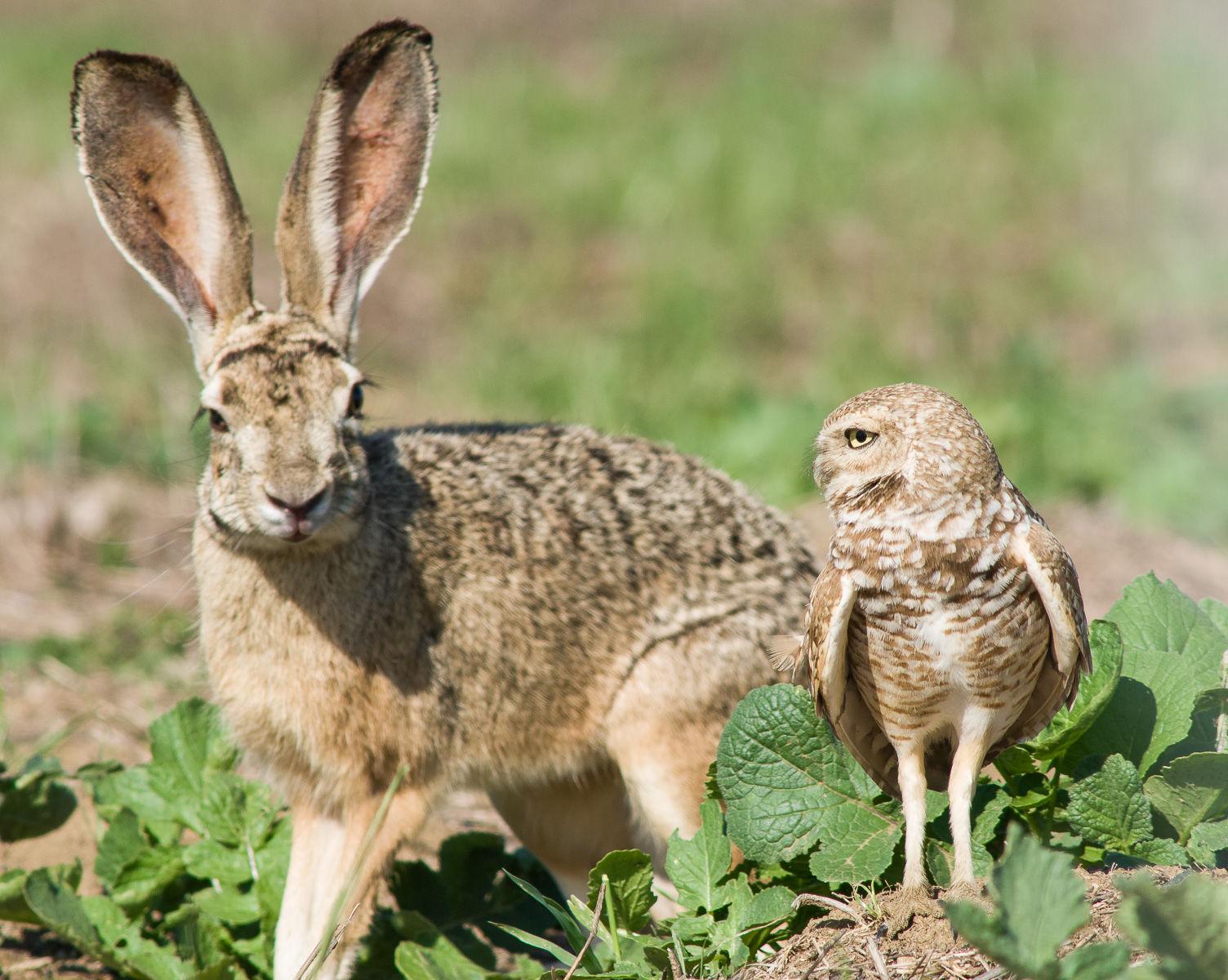 Burrowing Owl (Athene cunicularia) and Jackrabbit (Lepus californicus)